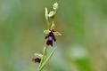 Hmyzovník muchovitý