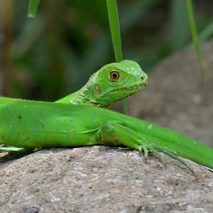 Leguán zelený junior
