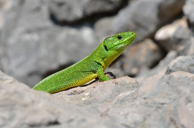 Jašterica smaragdová