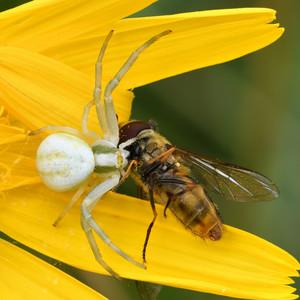 Povinnosti pavúka Kvetárika