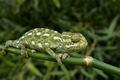 Chameleo chameleon