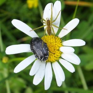 Obsadený kvet
