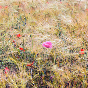 Obiľné pole s divými makmi