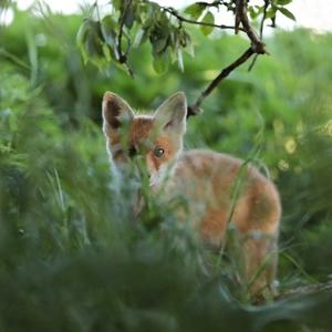 Líška obyčajná (vulpes vulpes)
