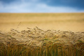 V pšeničnom poli