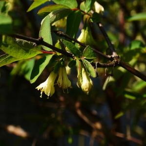 kvet sibírskej čučoriedky
