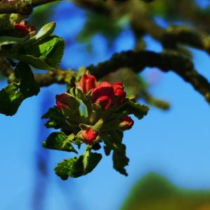 kvet jablone