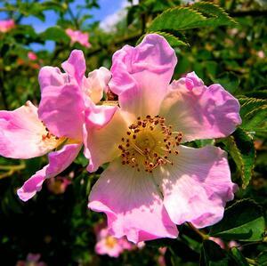 divá ruža