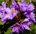 kvety rododendronu