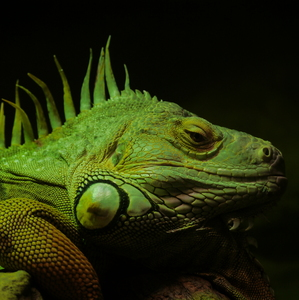 zelený drak
