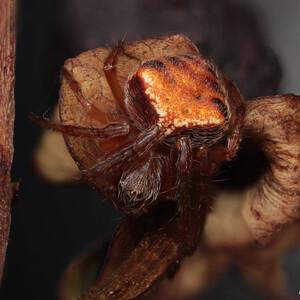 Araneus triguttatus