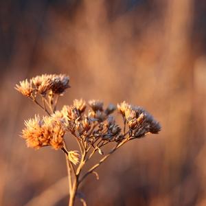 Lúčny kvet