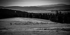 Pasli ovce valasi