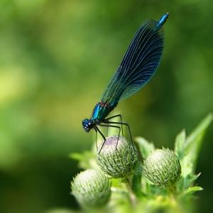 Motýlica