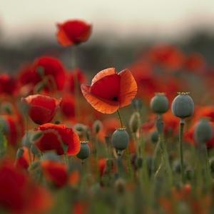 Melanchólia červených kvetov