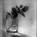 white-rose-bud-1954.jpg