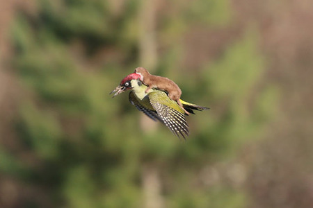 Extraordinary: Weasel rides on woodpecker's back - BBC News