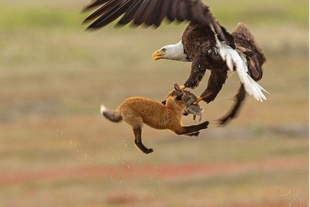 Unikátne zábery - súboj líšky a orla o korisť