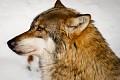 Bavorský les - Vlk dravý