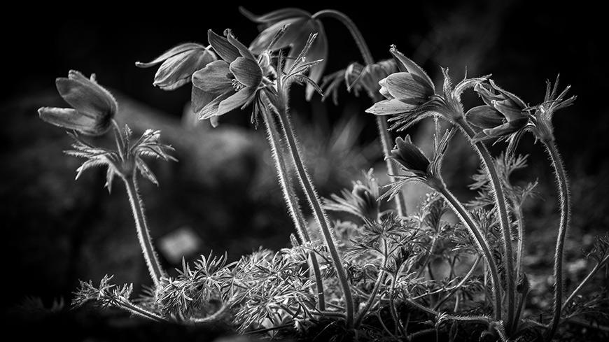 Kvety a rastliny čiernobielo