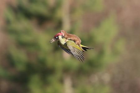 Jedinenčná snímka:  Lasička letiaca na chrbte vtáka