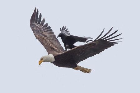 Jazda zadarmo: vrana na chrbte orliaka bielohlavého