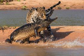 Fotograf  zachytil fascinujúci súboj jaguára s kajmanom