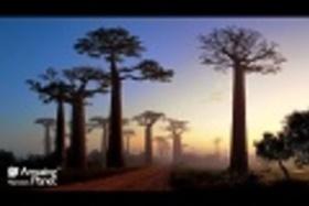 Baobab bol pre Filipa Kuliseva zlatým stromom