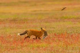 Unikátne zábery - súboj líšky a orla
